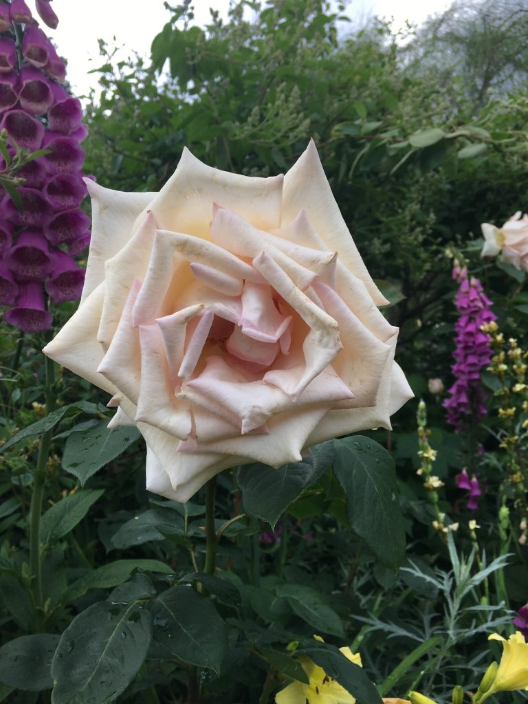 Artemis' Rose in Hyde Park
